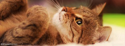 Cats and Tigers Cover Photos -  Facebook Covers
