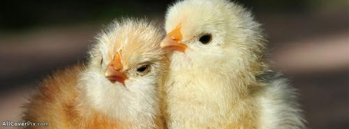 Cute Little Chickens FB Cover -  Facebook Covers