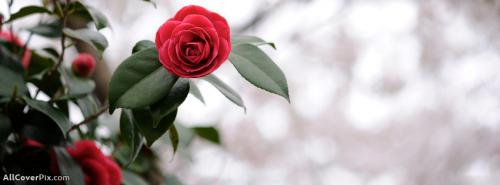 Lovely Red Rose Cover Photos For Facebook Timeline -  Facebook Covers